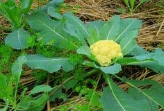 新鲜的花椰菜 库存照片