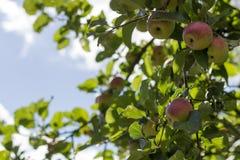 新鲜的苹果树在农场 收获概念 复制空间 免版税库存图片