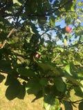新鲜的苹果树 库存图片