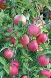 新鲜的苹果 免版税库存图片