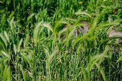 新鲜的草在夏天 免版税库存图片