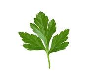 新鲜的草本查出的叶子荷兰芹 免版税库存照片