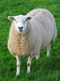 新鲜的草绵羊 免版税库存图片