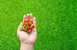 新鲜的草莓在一只人的手上 图库摄影