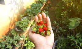 新鲜的草莓在一只人的手上 免版税库存照片