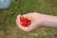 新鲜的草莓在儿童手上 免版税库存图片