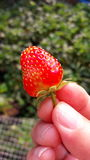 新鲜的草莓在手中, Blackground绿色自然 免版税图库摄影