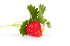 新鲜的草莓灌木 图库摄影
