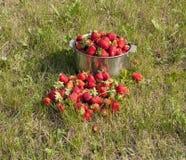 新鲜的草莓照片 库存图片