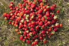 新鲜的草莓照片 图库摄影