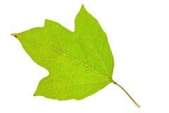 新鲜的荚莲属的植物叶子 库存图片