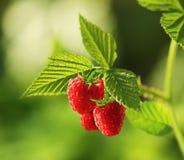 新鲜的莓厂 免版税库存图片