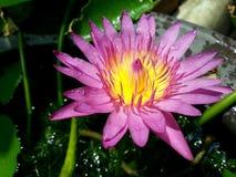 新鲜的莲花 库存图片