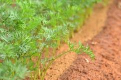 新鲜的莳萝植物在农场 库存图片