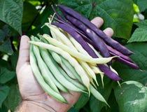 新鲜的菜豆在人的手上 图库摄影