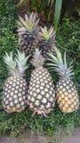 新鲜的菠萝农场Chaiyaphum泰国 免版税库存图片