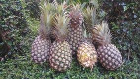 新鲜的菠萝农场Chaiyaphum泰国 免版税库存照片