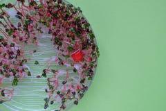 新鲜的萝卜在一透明sprouter,绿色背景发芽 免版税库存图片