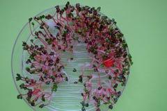 新鲜的萝卜在一透明sprouter,绿色背景发芽 图库摄影