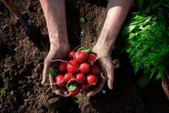 新鲜的萝卜在农夫手上 免版税库存照片