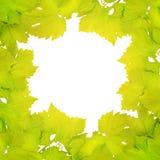 新鲜的葡萄叶子边界  库存照片