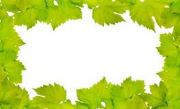 新鲜的葡萄叶子边界  免版税库存照片