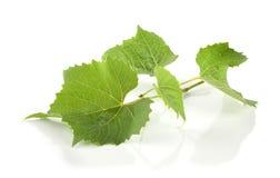 新鲜的葡萄叶子 免版税库存图片