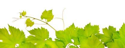 新鲜的葡萄叶子 免版税库存照片