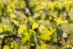 新鲜的葡萄树叶子和卷须在葡萄园里春天 库存照片