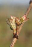 年轻新鲜的葡萄树射击 库存图片