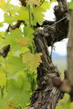 年轻新鲜的葡萄树射击 免版税图库摄影