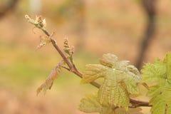 年轻新鲜的葡萄树射击 免版税库存照片