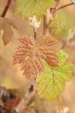 年轻新鲜的葡萄树射击 图库摄影