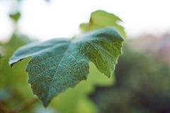 新鲜的葡萄绿色叶子 免版税库存照片