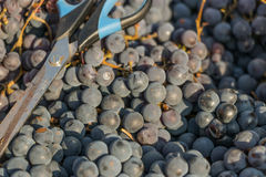 新鲜的葡萄 免版税库存图片