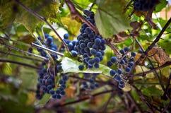 新鲜的蓝色葡萄 免版税图库摄影