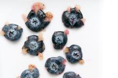 新鲜的蓝莓,在蓝色隔绝的蓝莓,深在抗氧剂上 免版税图库摄影