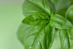 新鲜的蓬蒿叶子 免版税图库摄影