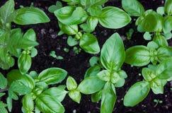 新鲜的蓬蒿在庭院里增长 免版税库存照片