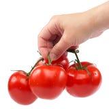 新鲜的蕃茄分支在手中在白色背景 免版税库存照片