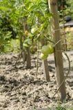 年轻新鲜的蕃茄在庭院里 免版税库存图片