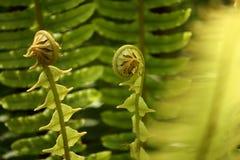 新鲜的蕨叶状体 免版税库存图片