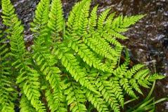 新鲜的蕨在森林在春天离开 库存照片