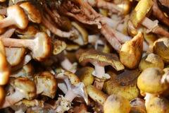 新鲜的蘑菇背景,关闭 库存照片