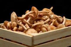新鲜的蜂蜜蘑菇特写镜头在篮子的 免版税库存照片