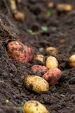 新鲜的被开掘的土豆在地面的庭院里 库存图片