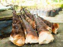 新鲜的被收获的笋或竹新芽与外面果壳从狂放剥皮在泰国 免版税库存图片