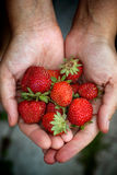 新鲜的被收获的草莓在妇女` s手上 免版税库存照片
