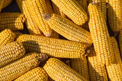 新鲜的被收获的黄色玉米棒子 库存图片