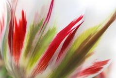 新鲜的豪华的白色透明郁金香瓣特写镜头有红色和浅绿色的细节和条纹的 库存图片